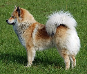 Eurasier - picture