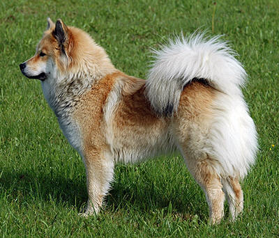 Eurasier dog breed information, pictures and facts ...