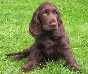 Field Spaniel puppy picture