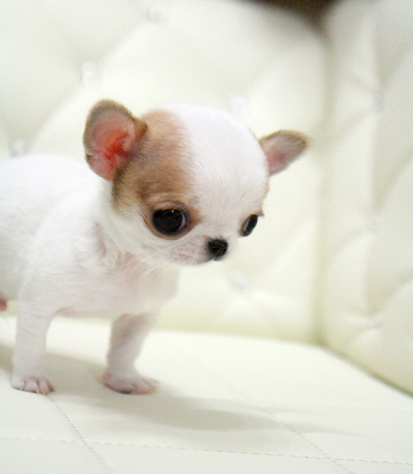 Micro Teacup Chihuahua Puppy Picture