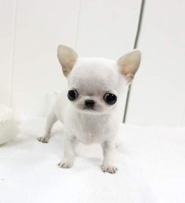 picture of Apple-Head Teacup Chihuahua