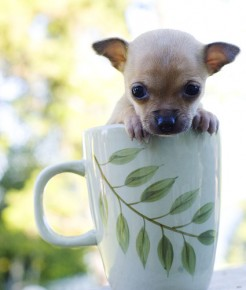 Chihuahua Teacup - picture