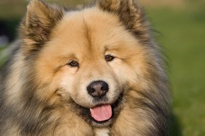 Eurasier portrait - picture