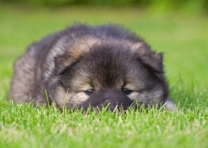 Eurasier puppy - picture