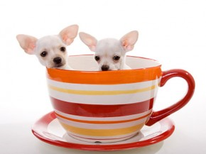 Teacup Chihuahuas - picture