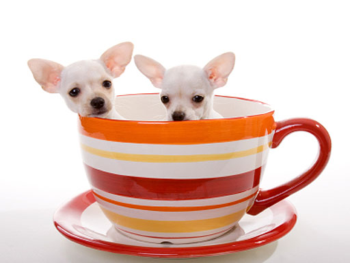Teacup Chihuahuas Health Issues Care