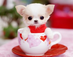 Tiny Teacup Chihuahua - photo