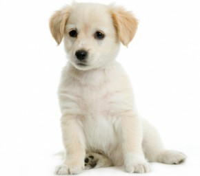 How to teach a dog to sit - picture of sitting puppy