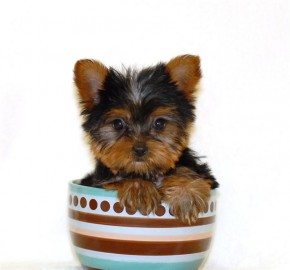 Teacup Yorkie - picture
