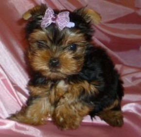 Teacup yorkies - picture