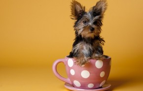 picture of a Tiny Teacup Yorkie