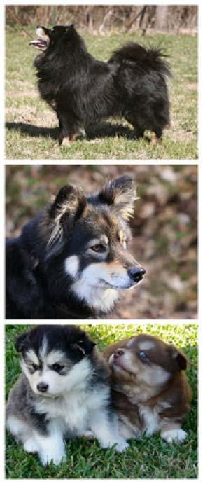Finnish laphund - picture