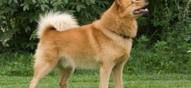 Finnish Spitz - picture
