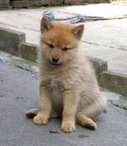 Finnish Spitz puppy - picture