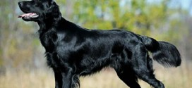 Black Flat-Coated Retriever - picture