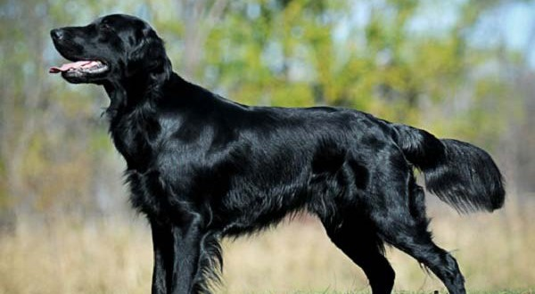 Flat Coated Retriever Dog Breed Temperament Facts