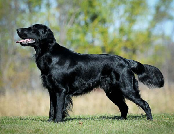 Flat-coated Retriever dog breed | Temperament | Facts | alldogsworld ...