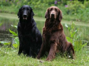 Types of Flat-Coated Retrievers - picture