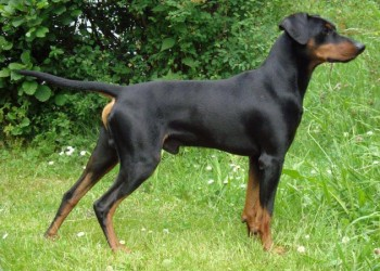German Pinscher - picture