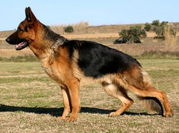 German Shepherd Dog - picture
