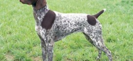 German Shorthaired Pointer - picture