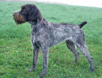 German Wirehaired Pointer - picture