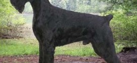 Giant Schnauzer - picture