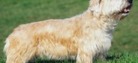 Glen Of Imaal Terrier - picture