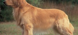 Golden Retriever - picture