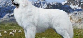 Great Pyrenees - picture