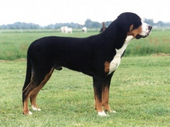 Greater Swiss Mountain Dog - picture