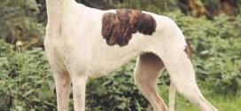 Greyhound - picture