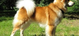 Icelandic Sheepdog - picture