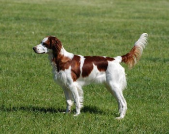 Irish Red And White Setter - picture