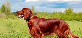 Irish Setter - picture