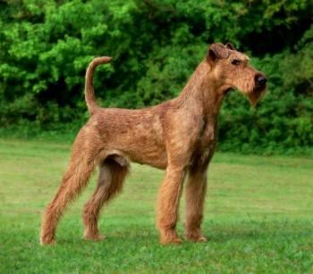 Irish Terrier - picture