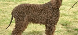 Irish Water Spaniel - picture