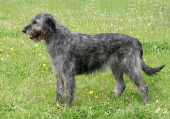 Irish Wolfhound - picture