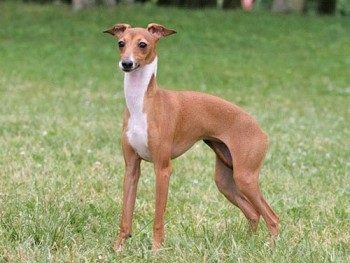 Italian Greyhound - picture