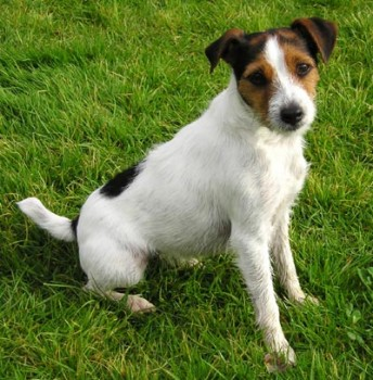 Jack Russell Terrier - picture