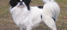 Japanese Chin - picture