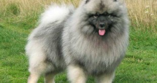 Keeshond breed - picture