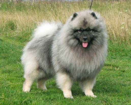 alldogsworld May 30, 2016 Dog Breeds Leave a comment 110 Views