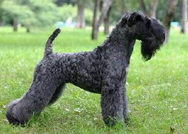 Grooming Kerry Blue Terrier Dog