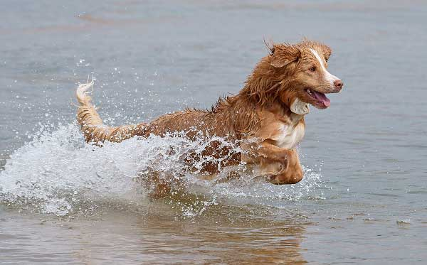 Nova Scotia Duck Tolling Retriever - picture
