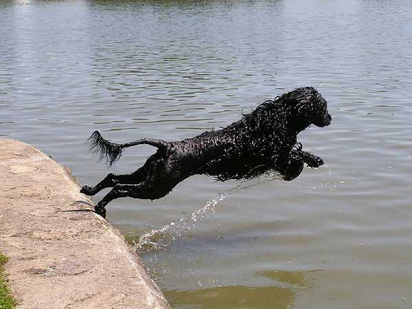 Portuguese Water Dog - jumping in the water