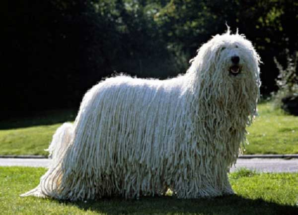 Komondor - Picture