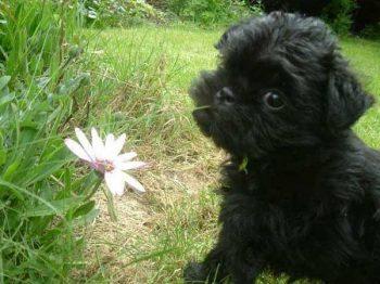 Affen Border Terrier - picture