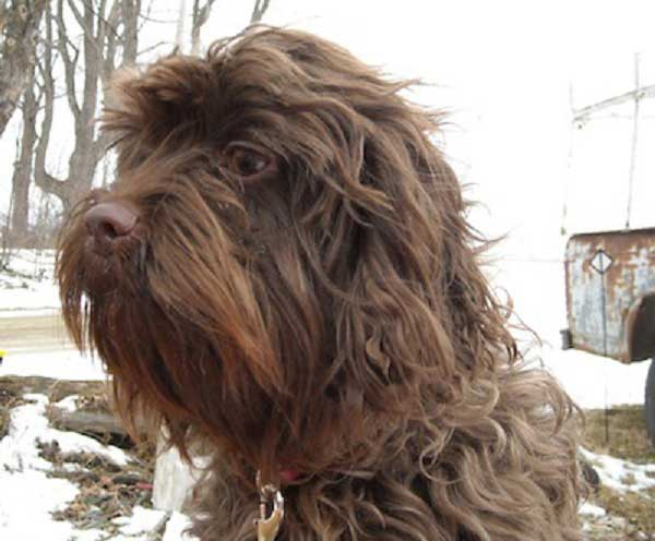 Affenpinscher Mix Affenpinscher Mixed Breeds