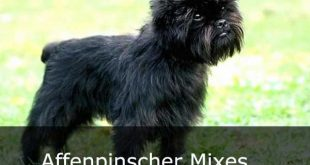 Affenpinscher Mixes - picture